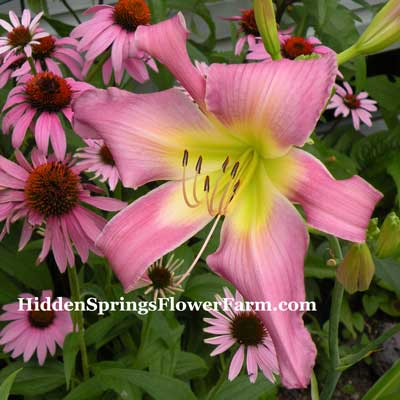 Lilting Lavender Daylily from Hidden Springs Flower Farm