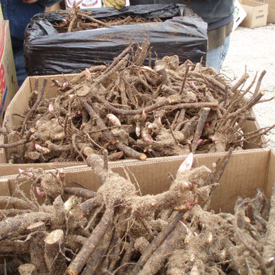 Box of Peony Roots Ready to Plant