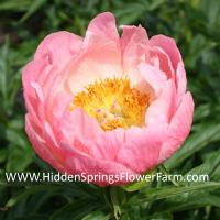 Coral Pink Hybrid Peony Abalone Pearl