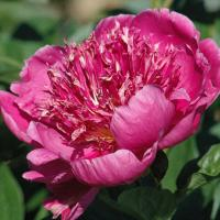 Dark Pink Japanese Peony Break O Day
