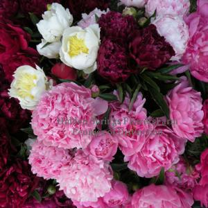 Peonies of Distinction from Hidden SPrings Flower Farm