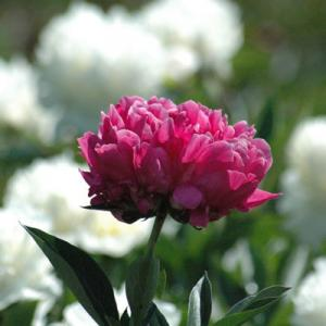 Antique Red Double Peony Francois Ortegat