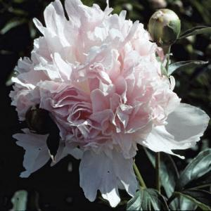 Mildly Fragrant Double Pink Peony Mr. Ed