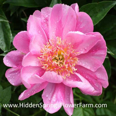 Peony Alicia Kunkel with party skirt petals.
