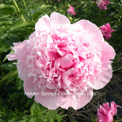 Peony Angel Cheeks a superb garden and cut flower peony.