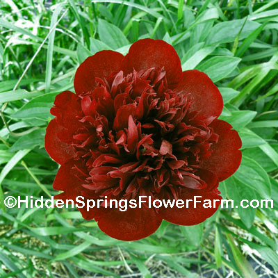 Hybrid Peony Bob a rare and beautiful variety.