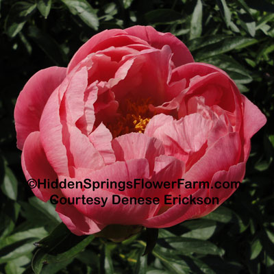Gold Medal Winner Peony Coral Charm