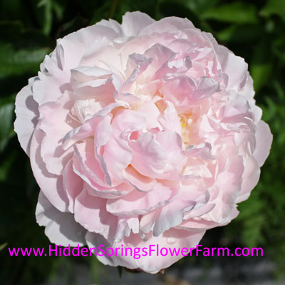 Light Pink Double Peony Mrs. Fern Lough