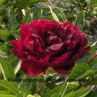Peony Ben Erickson is a dark red with a purple color in cool growing regions.