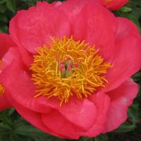Saunders hybrid Peony Claudia large blooms.