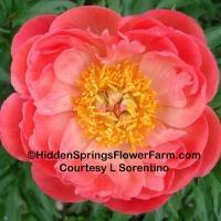 Gold Medal and ALM Winner Peony Coral Sunset