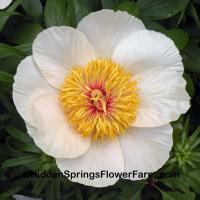 Fertile Hybrid Peony Early Glow