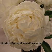 Mildly Fragrant Double White Peony Gardenia