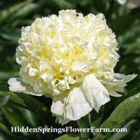 Peony Goldilocks superb bomb shaped peony blooms on strong stems.