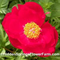 Paeonia officinalis James Crawford Weguelin