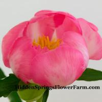 Peony Janice lovely pink hybrid of Dr. Saunders breeding program.