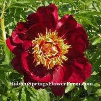 Peony John Harvard a striking dark, rich mahogany red color hybrid peony.