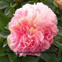 Peony Lois Choice a hybroid with a glowing combination of yell;ow and pink.