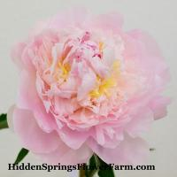 Peony My Love is a fragrant blush peony that changes to a delicate white.