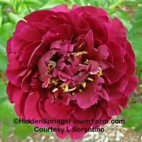 Gold Medal Award of Landscape Merit Fertile Hybrid Peony Old Faithful