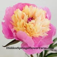 Very Fragrant, French Antique Peony Philomele