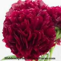 Brilliant red doublehybrid Peony Red Grace