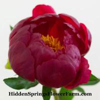 Saunders masterpiece red hybrid Peony Red Red Rose