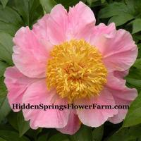 Peony Sugar N Spice is a fertile hybrid!