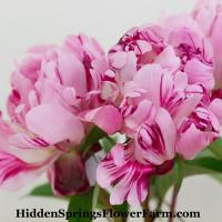Delightful candy stripe Peony Summer Carnival