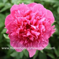Early Blooming Hybrid Peony Angelo Cobb Freeborn