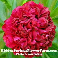 Hybrid Red Peony Angelo Cobb Freeborn