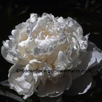Double White Peony Baroness Schroeder
