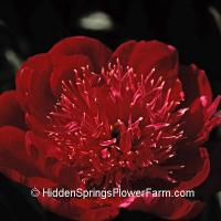 Red Japanese Peony Battle Flag