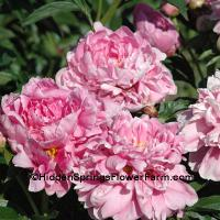 Peony Blanche King