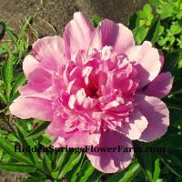 Peony Bouquet Perfect is exactly that perfect for your home and garden.