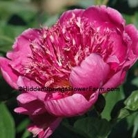 Peony Break O Day