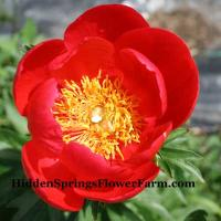 Peony Brightness is a colorful red hybrid that blooms early.