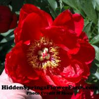 Brilliant Red Hybrid Peony Cardinal's Robe