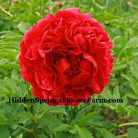 Huge Fragrant Red Peony Hybrid Carol