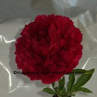 Huge Double Red Hybrid Peony Carol