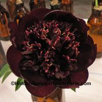 Peony Chocolate Soldier