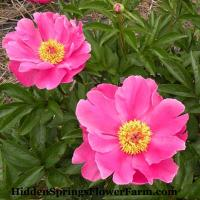 Peony Color Magnet hybrid is bright lavender-pink.
