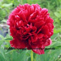 Peony Commando bright red hybrid double.