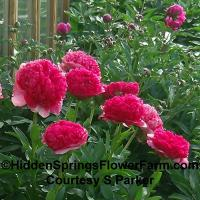 Strong Stemmed Hybrid Peony Command Performance
