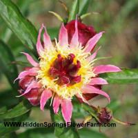 Peony Daisy Coronet from Hidden Springs Flower Farm