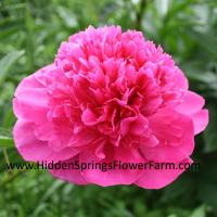 Double Red Peony David Harum