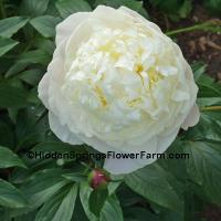 Fragrant Antiuque French Peony Duchesse de Nemours