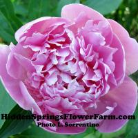 Fragrant Heirloom Peony Edulis Superba