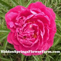 Dark Pink Double Peony Elsie Pickett