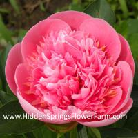 Peony Etched Salmon an exceptional beauty for your garden.